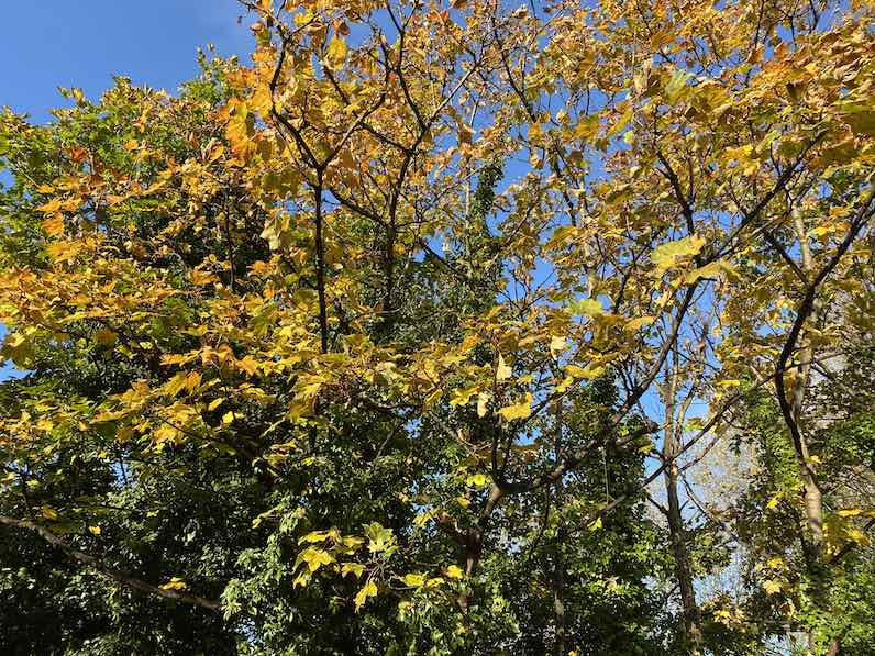 A view of the blue sky and treetops from the ground, with the leaves turning from green to the yellow and orange hues of autumn