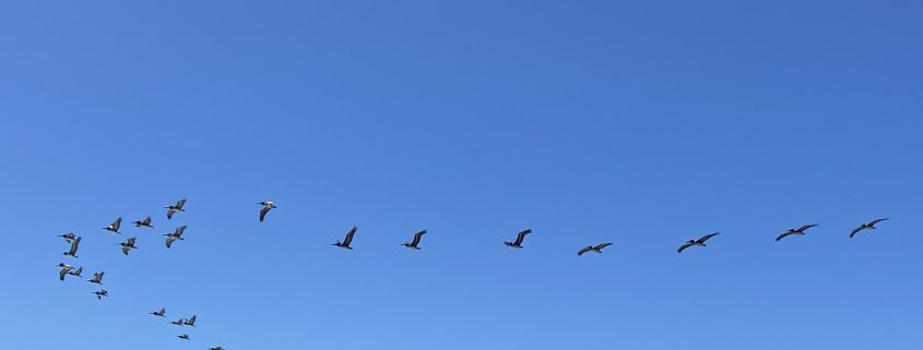 Birds Flying in a Formation